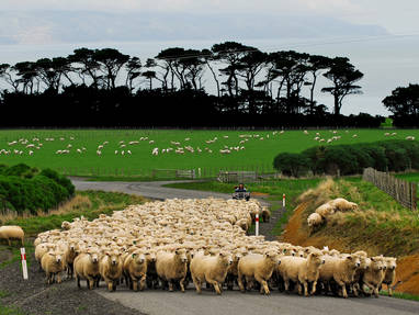 Sheep mustering up wharepapa road