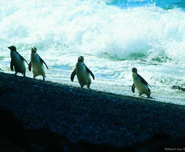 MB_Fiordland_Crested_Penguin
