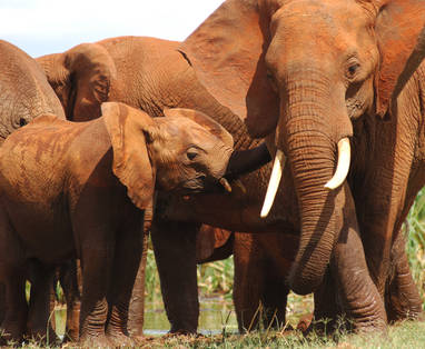 Tsavo_Red_Elephants