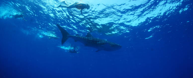 KTB_snorkelling_whale_sharks
