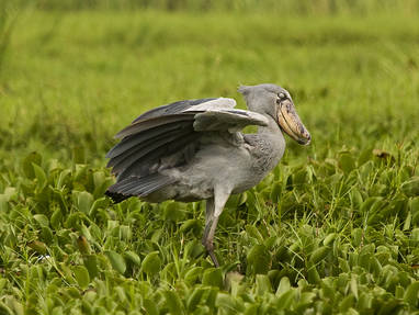Wildplaces shoebill4